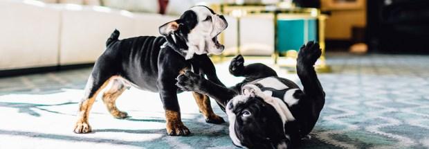 bulldogs 1